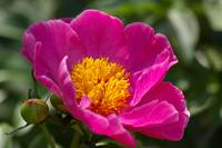 Paeonia flower
