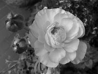A Flower in Black and White