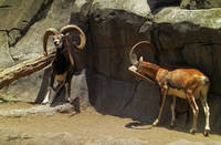Mouflon Wild Sheep Scratching 1