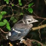 """""""Baby Blue Jay"""" by jennmiller15"""