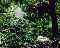 Cattle Egret on Nests