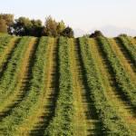 """Mowed Hay"" by dkocherhans"