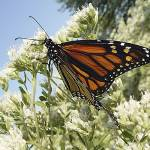 """Monarch butterfly on white wild flower"" by NacoPhotography"
