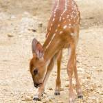 """""""Fawn 2"""" by Quandee"""