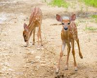 Fawns 2