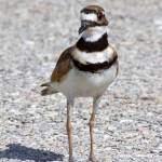 """Killdeer 1"" by Quandee"