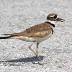 """Killdeer 2"" by Quandee"