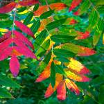 """Backlit Sumac"" by georgejonesgallery"