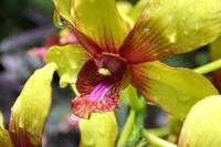 Yellow Hawaiian Orchid