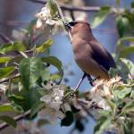 """Waxwing in apple tree"" by georgejonesgallery"