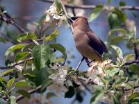 Waxwing in apple tree