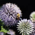 """Thistle and Bee"" by georgejonesgallery"