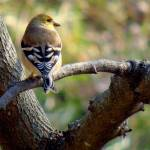 """Goldfinch, Olsburg, KS"" by georgejonesgallery"