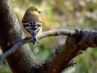 Goldfinch, Olsburg, KS