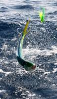 The Leaping Mahi
