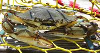 The Caged Blue Crab 1
