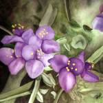 """Purple Spiderworts"" by margo"
