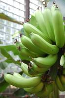 Green Bananas