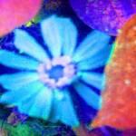 """Blue Zinnia Rests on Festive Morning Glory Leaves"" by JudyMarisa"