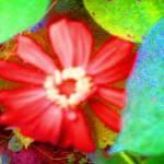 """Deep Vermillion Coreopisis on Festive Leaces by Ju"" by JudyMarisa"