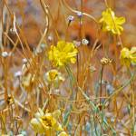 """yellow wild flowers along NV highway"" by lwoodburn"