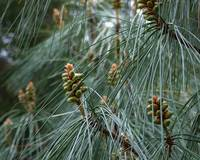 Pine Cone Buds on Pine Tree
