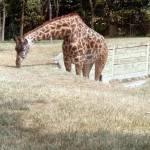 """Great Giraffe"" by NicholsonH"