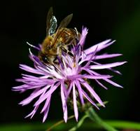 Honey Bee on Wildflower