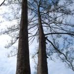 """twin tree"" by pinayflicker"