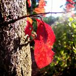 """""""Red leaf"""" by ces"""