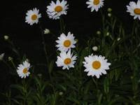 Daisy's At Dusk