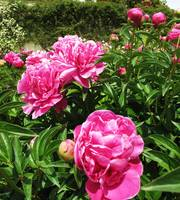 Pink Roses from Boboli Gardens in Florence, Italy