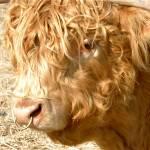 """""""Highland Bull"""" by craglynn"""