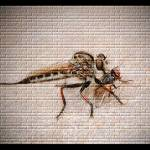 """""""Robber Fly"""" by jphall"""