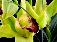 Cymbidium Orchid 43, Colorado