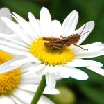 """Grasshopper On A Daisy"" by craglynn"