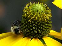 Bee on rudbeckia hirta