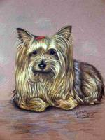 Yorkshire Terrier Gina