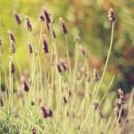 """Lavender Bokeh"" by Cinnamon"