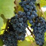 """Grape Vines"" by ctoby5"