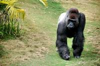 Silverback on the prowl