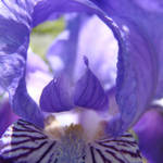 """Irises Art Flower Purple Close Up 17 Irises Prints"" by BasleeTroutman"
