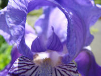 Irises Art Flower Purple Close Up 17 Irises Prints