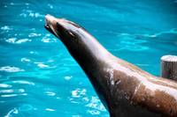 Serpentine Sea Lion