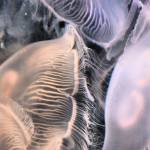 """Moon jellies #2"" by EmperorNorton47"