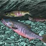 """Chum Salmon"" by RalphMartens"
