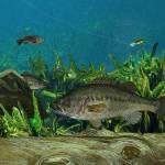 """""""Largemouth Bass"""" by RalphMartens"""