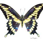 """Giant Swallowtail"" by LisaMclaughlin"