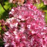 """PinkFlowers_1070_16x24"" by OregonArtGuy"