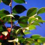 """sasanqua camellia"" by emilymcalpine"